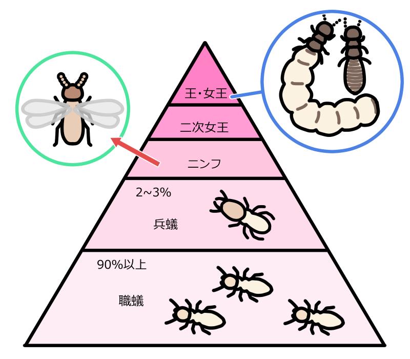 ヤマトシロアリの社会構造と役割の図